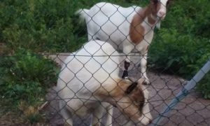 Goats at Convent St. Come